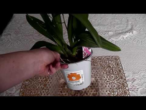 Орхидея: правильный уход в домашних условиях (как