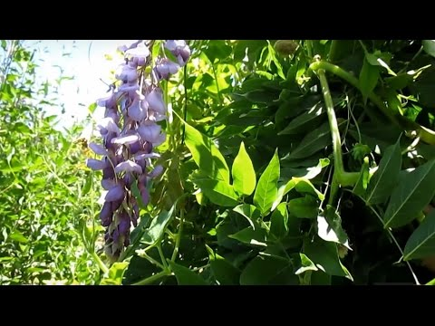 Nitrogen Fixing Perennial Vinetree With Edible Flowers Wisteria