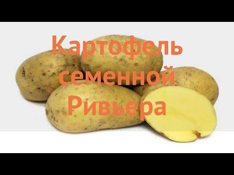 Картофель семенной Ривьера 🌿 Ривьера обзор: как сажать, семенной картофель картофеля Ривьера
