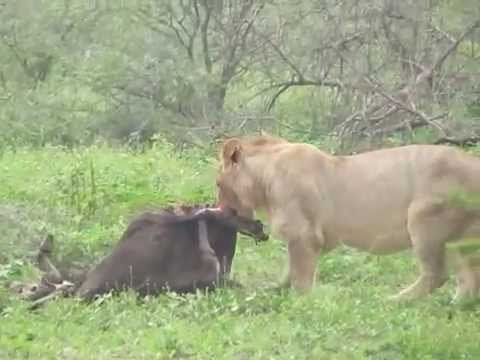 Lions Eating a Wildebeest- Ngorongoro Conservation Area