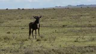 Ngorongoro Conservation Area, Wildebeest Migration