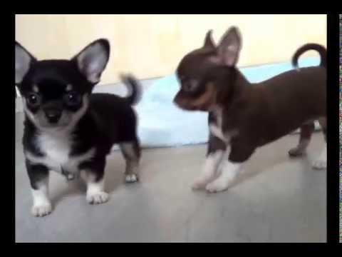 видео: Щенки - прикольные мини чихуахуа (1 мес)