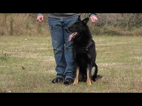 kraftwerk-k9-german-shepherd-high-level-obedience-in-protection!
