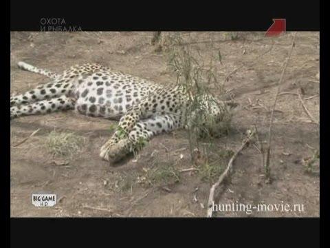 Охота на леопарда в Танзании