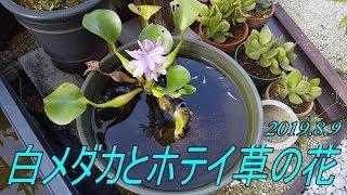 白メダカとホテイ草の美しい花 2019.8.9