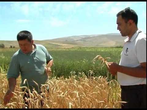 Удобрение Байкал ЭМ-1 в Кыргызстане, Отличный урожай пшеницы в Узгене (видео на кыргызском языке)