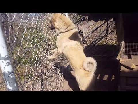 Ladakhi Bakarwal Dog | Gaddi Dog | Tibetan Mastiff | Red Tibetan Mastiff | Bakarwal Dog Barking