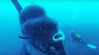10 Największych Zwierząt Żyjących w Morzach i Oceanach