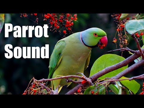 Parrot Sound Effect (Best audio quality)