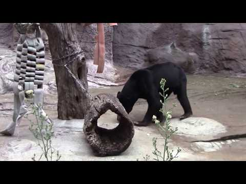 #14 Sep 2017 Sun bear at Tennoji zoo, Osaka, Japan