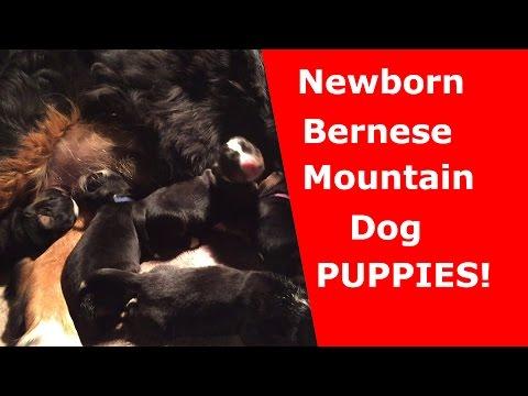 Bernese Mountain Dogs - Newborn Puppies & Momma