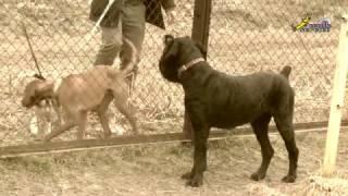 Команда ко мне, вариант отработки подзыва от собак, ОКД, чёрный терьер