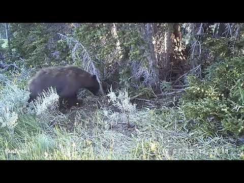 buty temperamentu niska cena sprzedaży za kilka dni Mountain lions often lose to wolves and bears, study finds