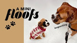 Boxer Dog Meets Boxer Puppy