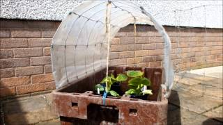Build A 'very' Mini Polytunnel By Recycling An Old Fish Box.