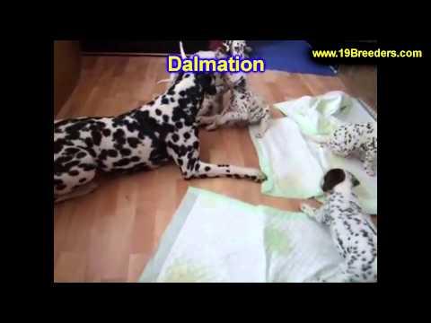 Dalmation, Puppies, For, Sale, In, Billings, Montana, MT, Missoula, Great  Falls, Bozeman