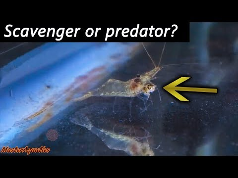 Will Ghost Shrimp Go After Your Small Fish? Watch This Before Keeping Ghost Shrimp.