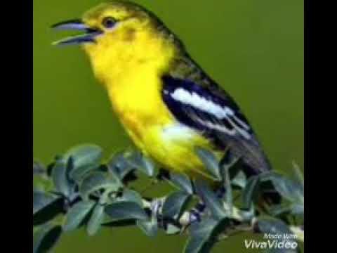 Suara pikat ampuh burung kecil | sirtu betina