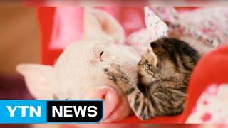 """엄마 잃은 새끼 돼지와 새끼 고양이 """"우리는 친구입니다"""" / YTN"""