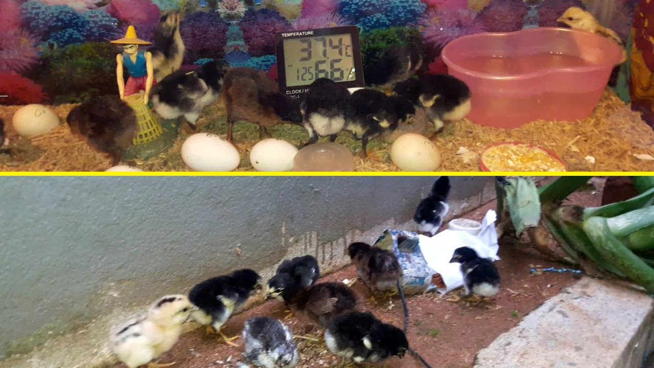 Barred Plymouth Rock Chicken || Newly Hatched Baby Chickens