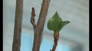 видео Как посадить саженец сосны самостоятельно