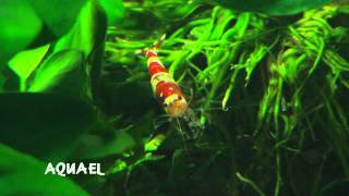 "Talking Fish - Episode 2 ""Keeping Freshwater Shrimp"""