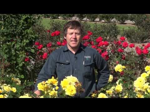 International Rose Garden at Adelaide Botanic Garden