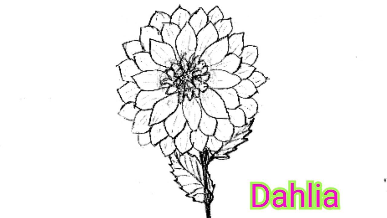 Dahlia Flower Drawing How To Draw A Dahlia Youtube