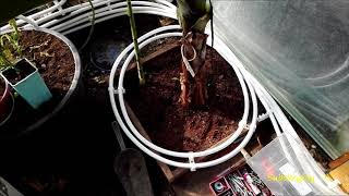 #297-Dodatkowe ogrzewanie w szklarni-  Rura pex. Rośliny egzotyczne.