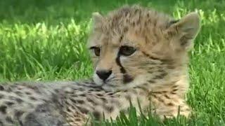 Teaching cheetah cubs to play & hunt Cheetahs - Fast Track to Freedom - BBC