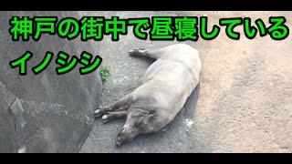 神戸市東灘区の天井川ではイノシシが日常的に川を歩いたり、昼寝してい...