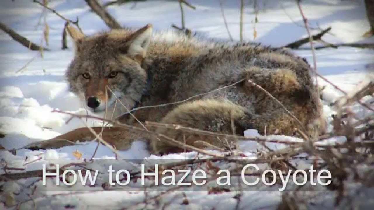 How To Haze A Coyote Youtube
