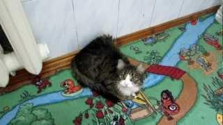 Кошка смешно мяукает / Funny cat meows