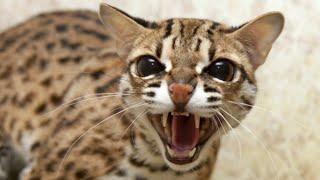 Кот Петруха вяжет! mating of cats!