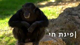 הנכד הפרוע והסבתא התומכת: הדרמה של משפחת השימפנזים