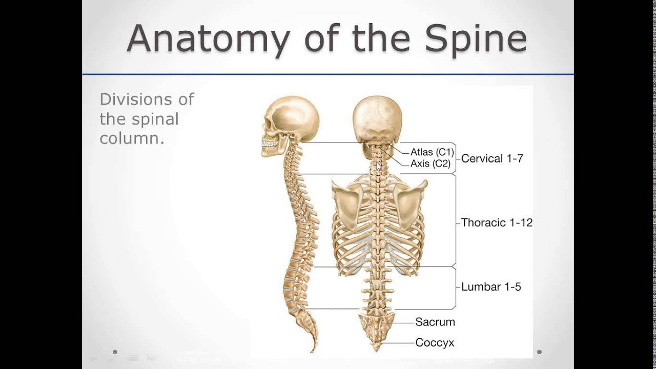 Head neck spine anatomy