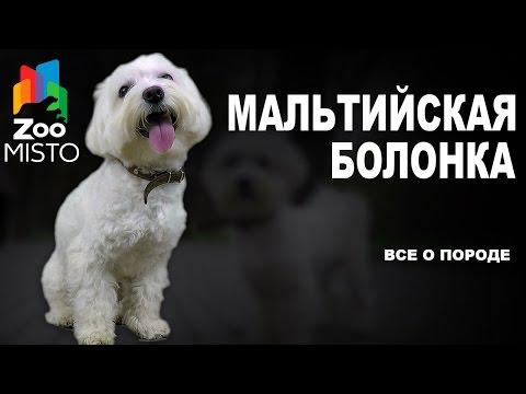 Мальтийская Болонка - Все о породе собаки | Собака породы - Болонка