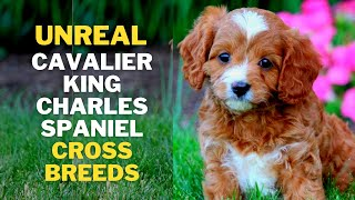 12 Cutest Cavalier king Charles Spaniel Mix breeds That will Melt Your Heart