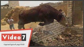 بالفيديو.. مطاردة مثيرة لـ«عجل» حطم جدار خلال هروبه من مواطنين بالفيوم
