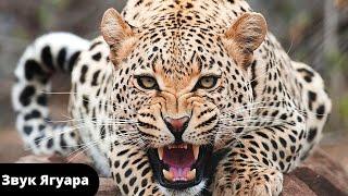 Звуки животных / Ягуар - интересные факты о животных .Звук рычащего ягуара .Звуки животных для детей