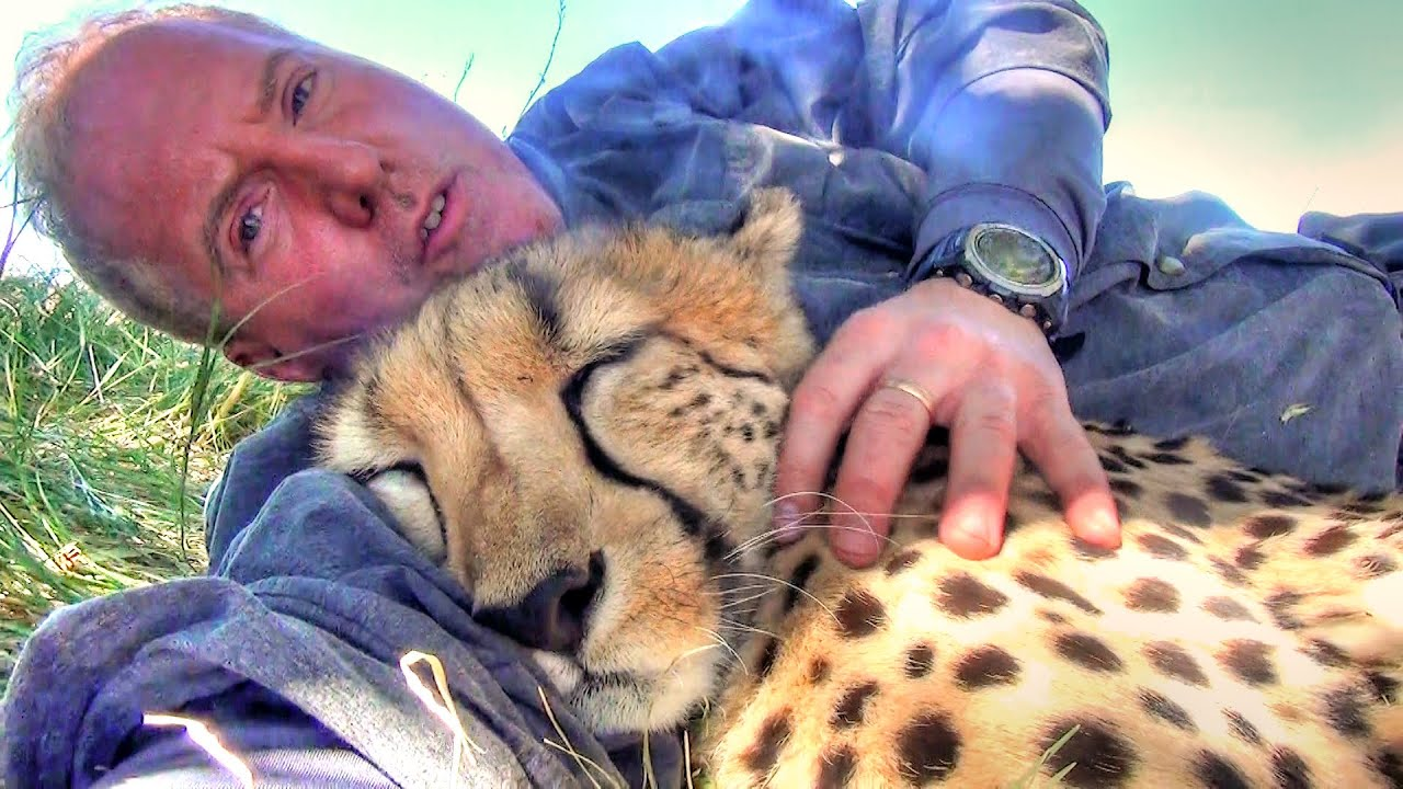 taking a nap with loving female cheetah cat cuddles falls asleep