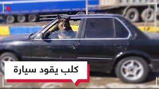 كلب يقود سيارة في الشوارع.. هل في الأمر خدعة؟  | RT Play