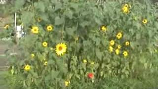 My sunflower garden in Haarlem, Netherlands, 20 Oct. 2007.