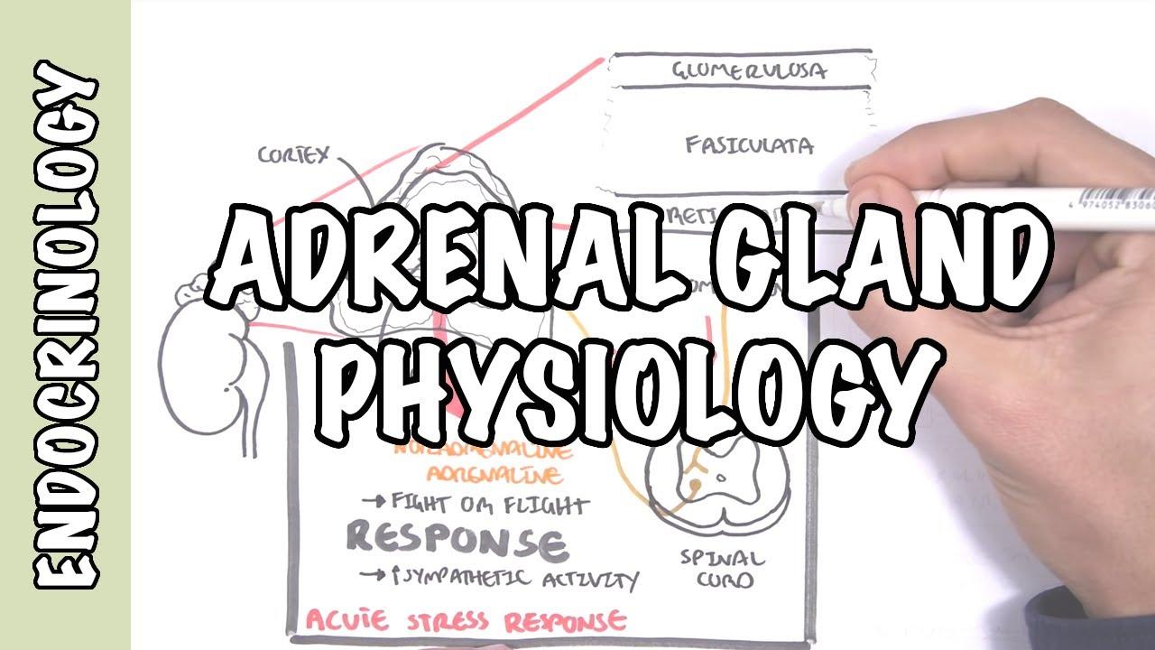 Endocrinology Adrenal Gland Hormones Youtube