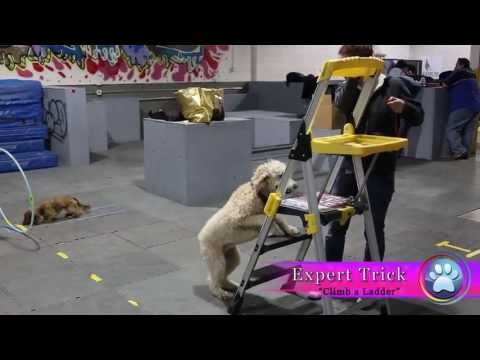 Oakley, Standard Poodle applies for Champion Trick Dog Title