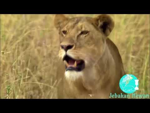 Kejadian Langka Pertarungan Macan Tutul VS Raja Landak Sampai Mati