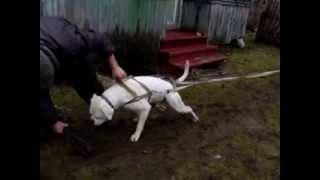 Американский бульдог не только собака....а еще и тягач