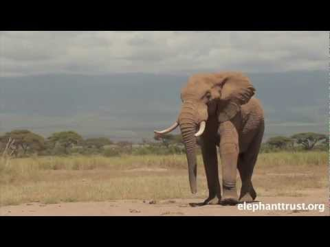 Amboseli Elephants - Speared Bull Treated