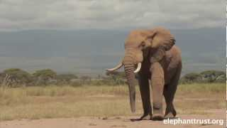 Amboseli Elephants - Speared Bull Treated