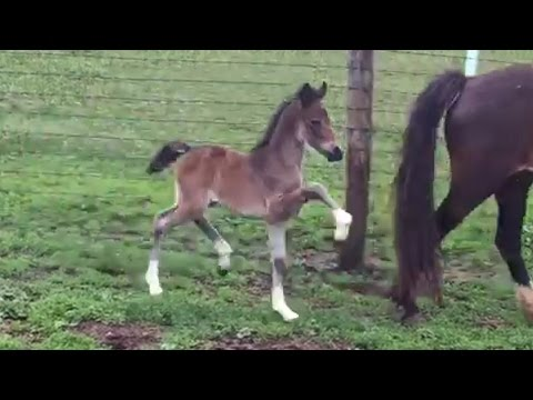 The Natural Trot of a Hackney Pony
